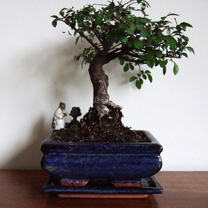 Bonsai tree given me recently by some graduating students